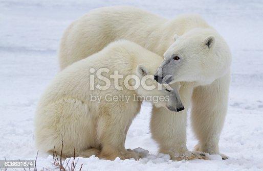 istock Polar bear sow and cub 626631874
