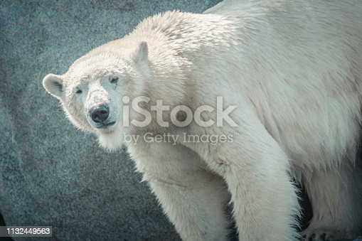 Polar Bear (Ursus maritimus) standing on rocks near the edge of the water. The Polar Bear is a vulnerable species because of habitat loss caused by climate change.