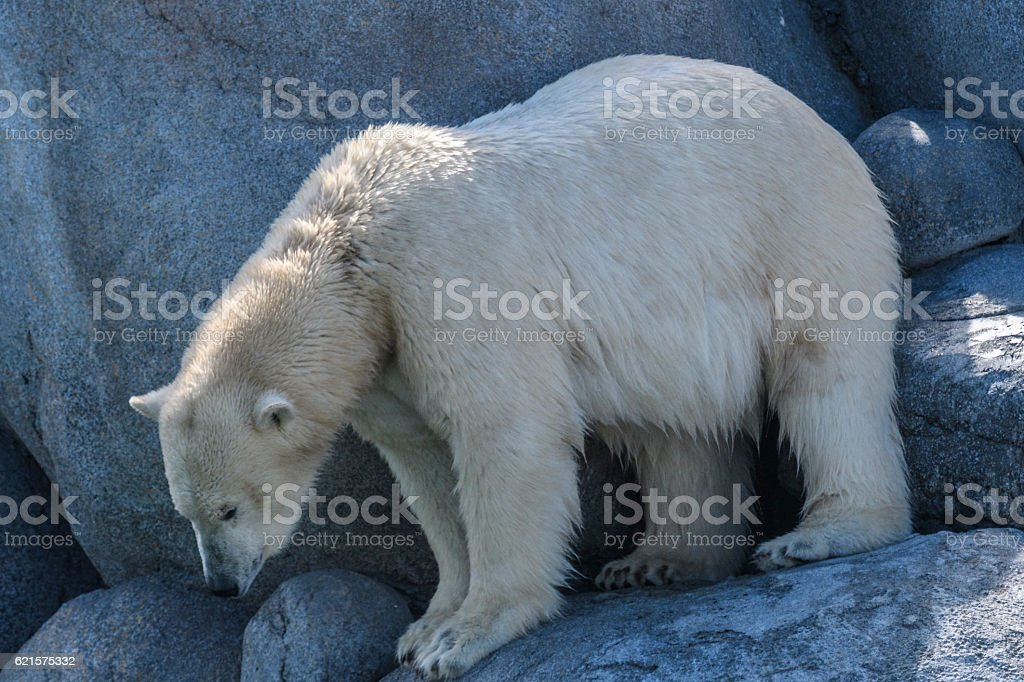 Polar bear standing on rocks photo libre de droits