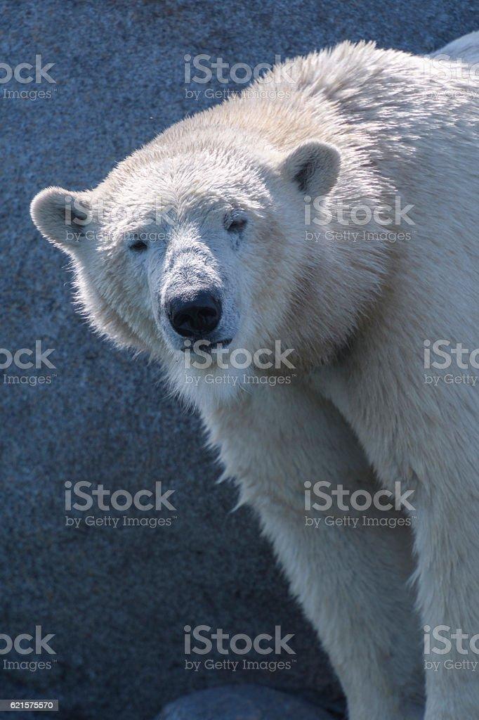 Polar bear standing on the rocks photo libre de droits