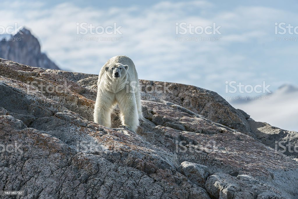 Polar bear standing stock photo