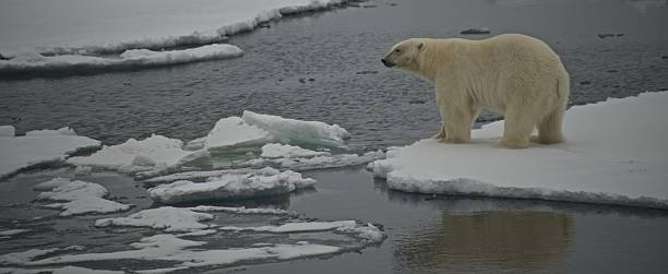 Polar bear staring over water in Arctic Polar bear staring over water in Arctic ice floe stock pictures, royalty-free photos & images