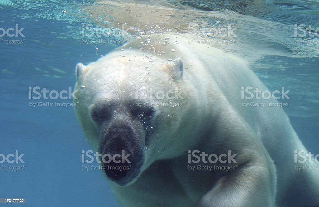 Polar Bear Swim Underwater stock photo