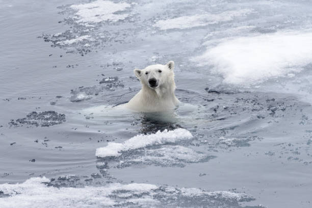 Polar bear (Ursus maritimus) swimming in Arctic sea close up stock photo