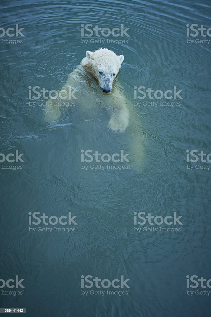 Polar bear swimming in rippled water stock photo