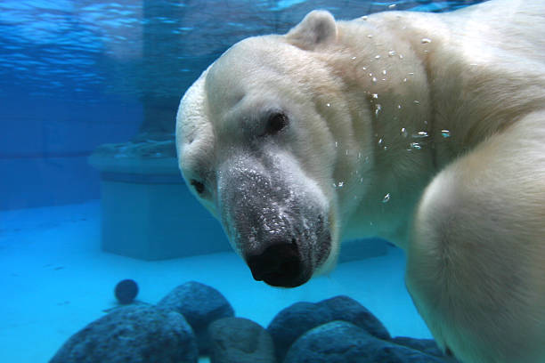 polar bear swimming in tank, looking at camera - zoo stock pictures, royalty-free photos & images