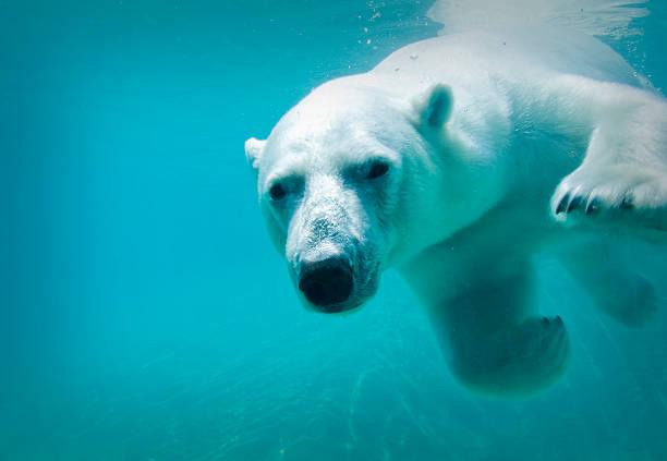Eisbär-Swimmingpool – Foto