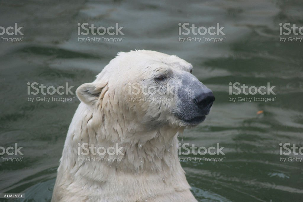 polar bear swims stock photo