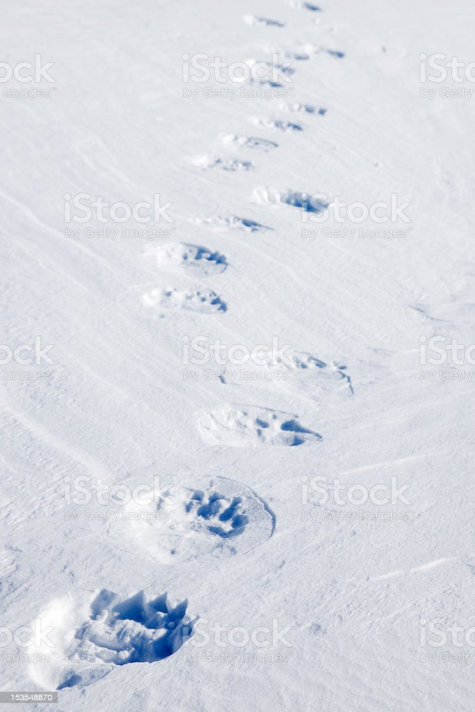 Polar Bear Tracks stock photo