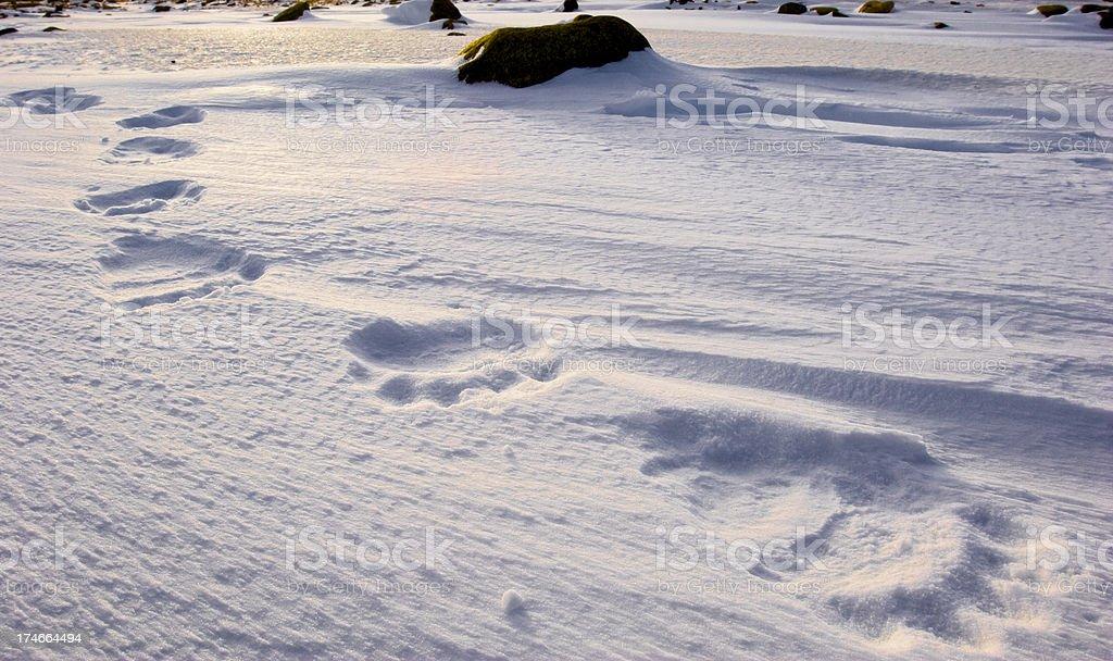 polar bear tracks. stock photo