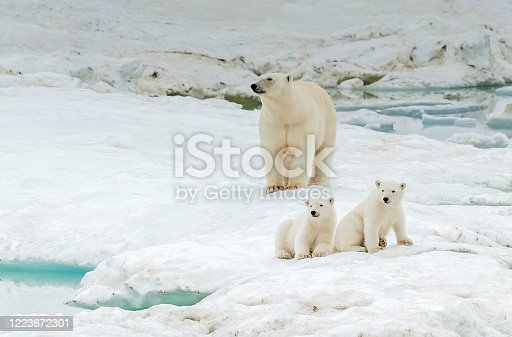 polar bear, Ursus maritimus, is a carnivorous bear native largely within the Arctic Circle encompassing the Arctic Ocean. Wrangel Island,  Chukotka Autonomous Okrug, Russia. Arctic Ocean. Mother and young cubs on the snow.