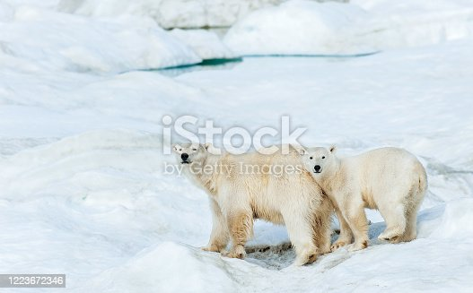 polar bear, Ursus maritimus, is a carnivorous bear native largely within the Arctic Circle encompassing the Arctic Ocean. Wrangel Island,  Chukotka Autonomous Okrug, Russia. Arctic Ocean. Adult mother and older cub on the snow.