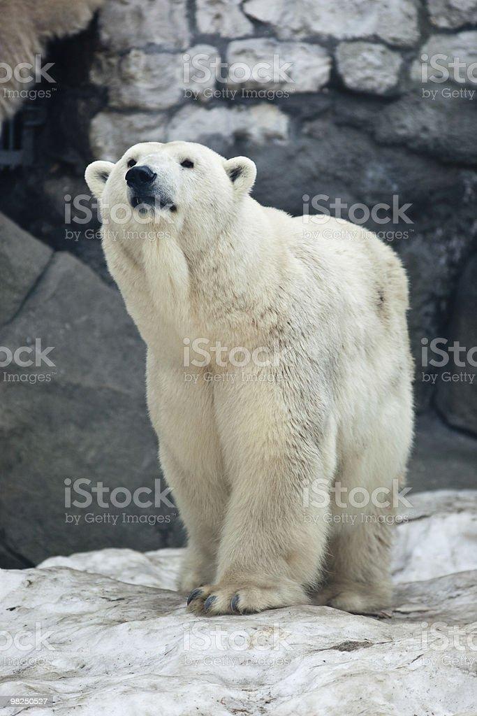 북극곰, Ursus maritimus royalty-free 스톡 사진