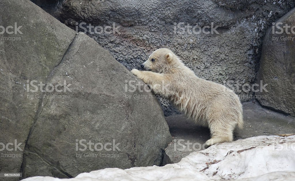 Polar bear, Ursus maritimus royalty-free stock photo