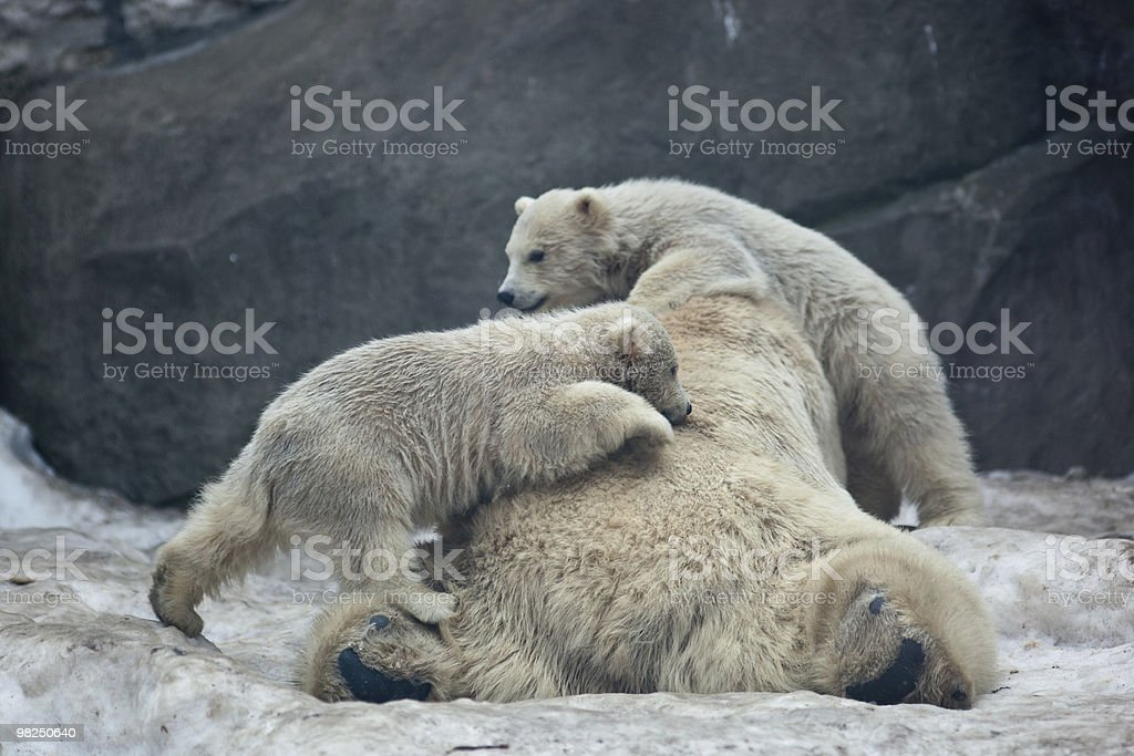 Polar bear, Ursus maritimus royalty-free stock photo