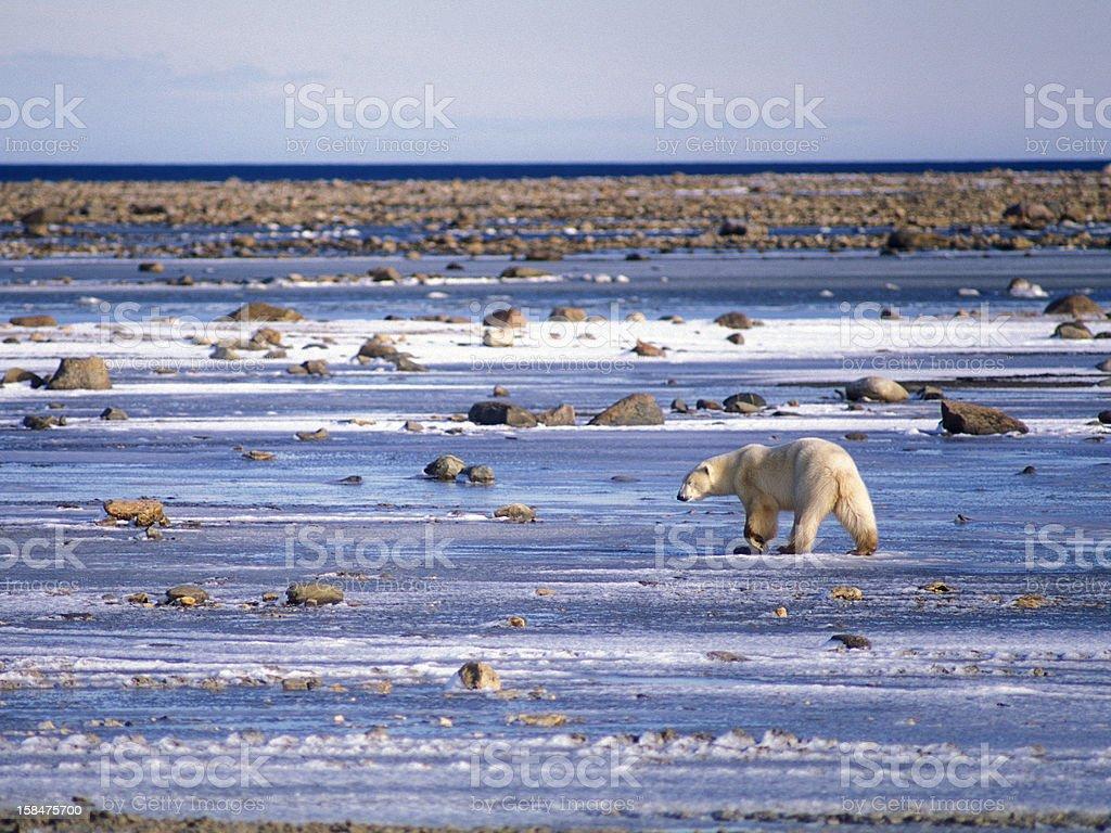 Polar Bear Waiting stock photo