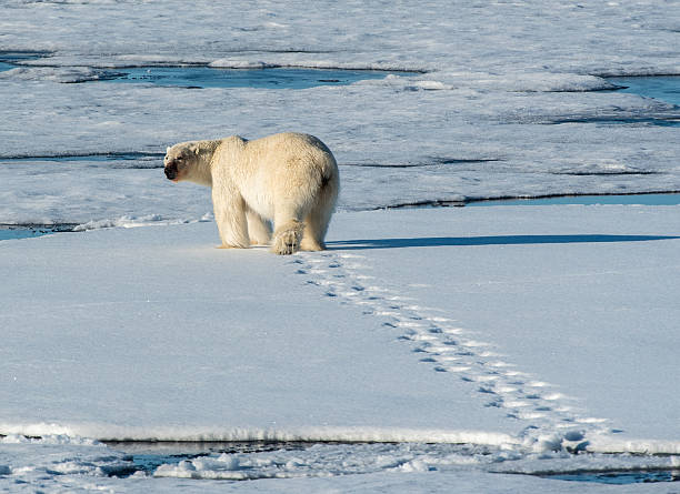 Polar Bear walking away with footprints in snow stock photo