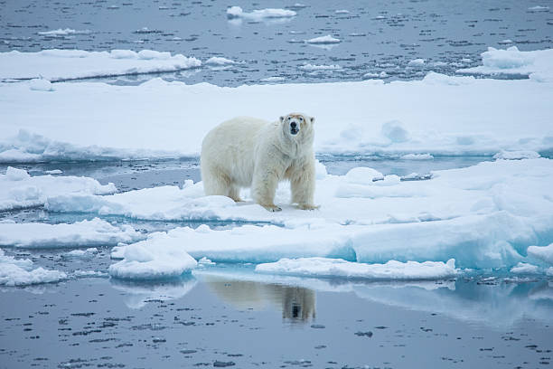 Polar bear walking on ice floe surrounded by water Polar bear is walking on a small ice floe surrounded by water and ice. Symbolic for climate situation in the arctic. Copy- space. ice floe stock pictures, royalty-free photos & images