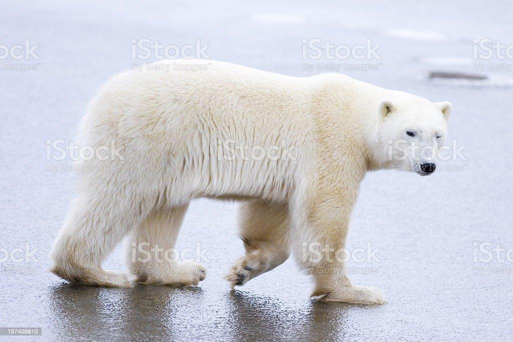 Polar bear walking on ice. royalty-free stock photo
