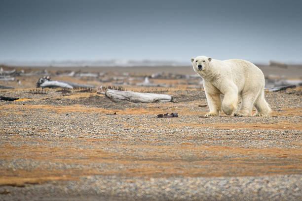 Polar Bear Walking on Land in Alaska stock photo