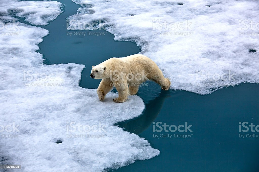 Polar bear walking on pack ice with water pond stock photo