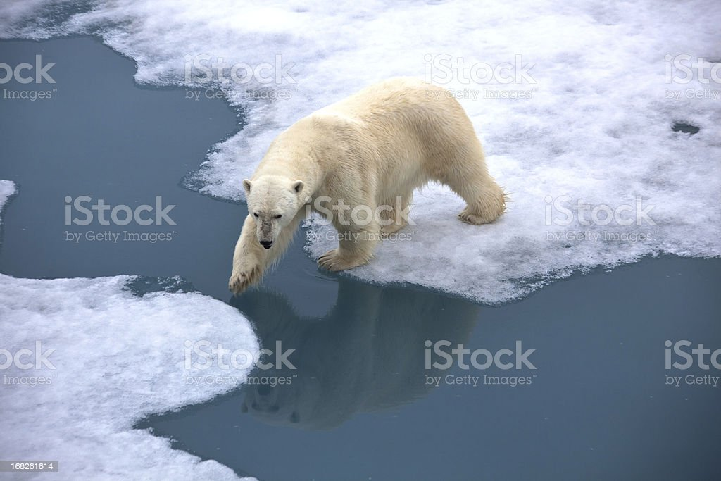 Polar bear walking on pack ice with water pond royalty-free stock photo