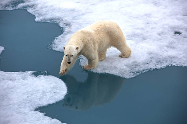 Polar bear walking on pack ice with water pond Polar bear walking on pack ice with open water. Reflection in the water.Symbolic for climate situation in the arctic. Reflection in the waterSymbol for endangered wildlife by global warming. The picture is taken between Franz Josef Land and North pole in the russian arctic. ice floe stock pictures, royalty-free photos & images
