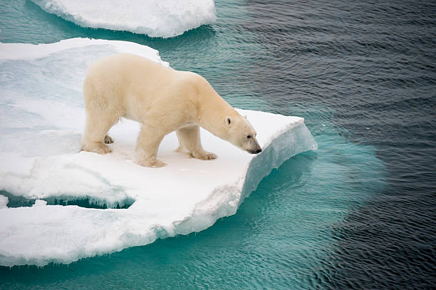 Polar bear walking on sea ice stock photo