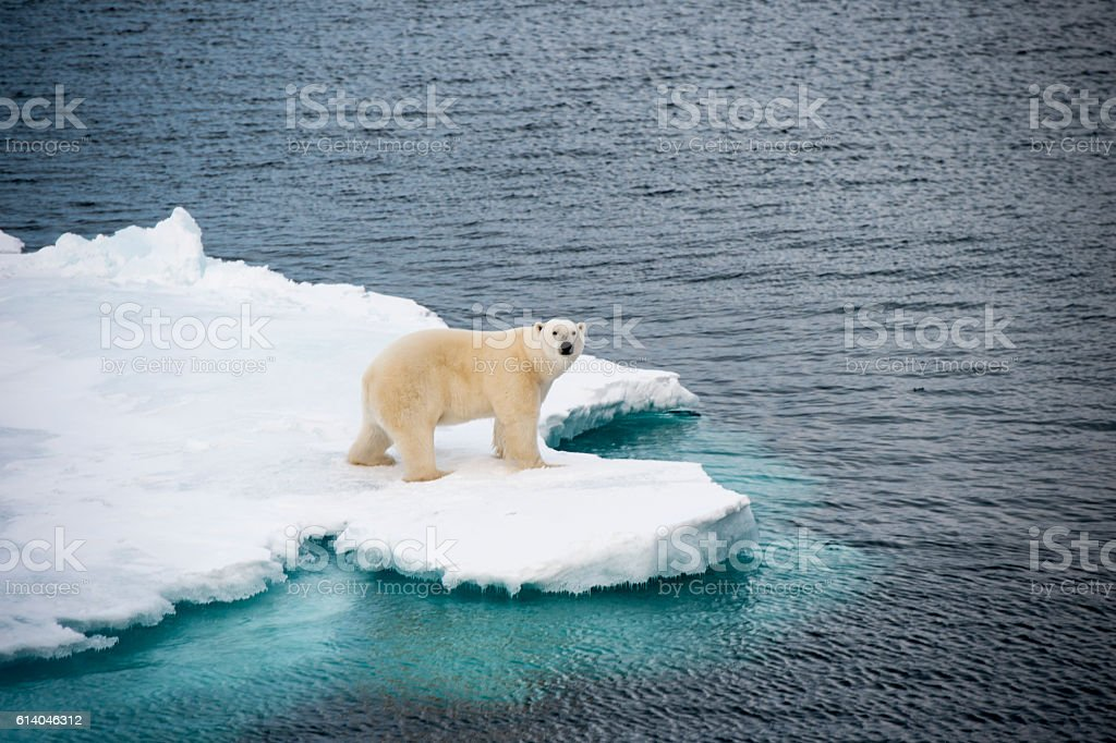 Polar bear walking on sea ice стоковое фото
