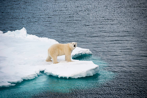 Cтоковое фото Polar bear walking on sea ice