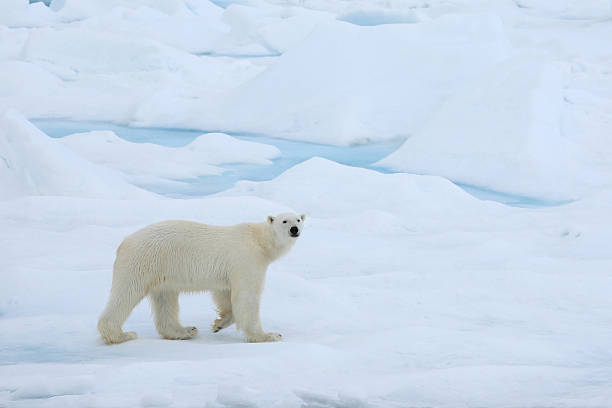 A polar bear wandering in the Arctic ice stock photo