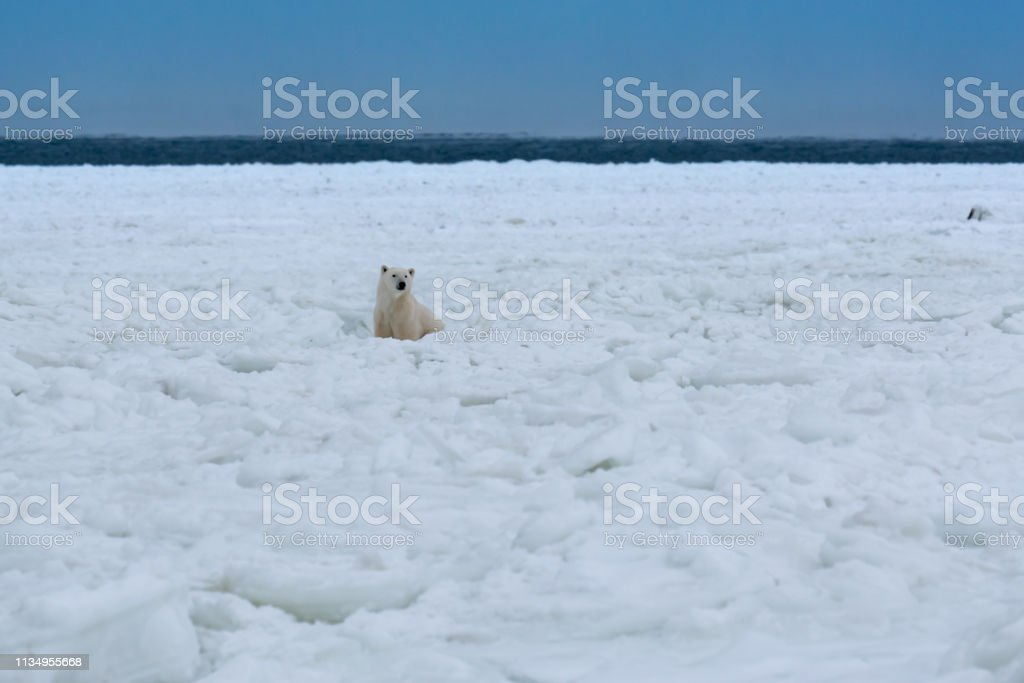 Polar bear watching from the distance stock photo