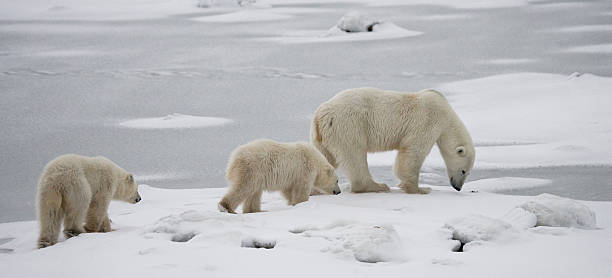 polar bear with a cubs in the tundra. - bärenpark stock-fotos und bilder