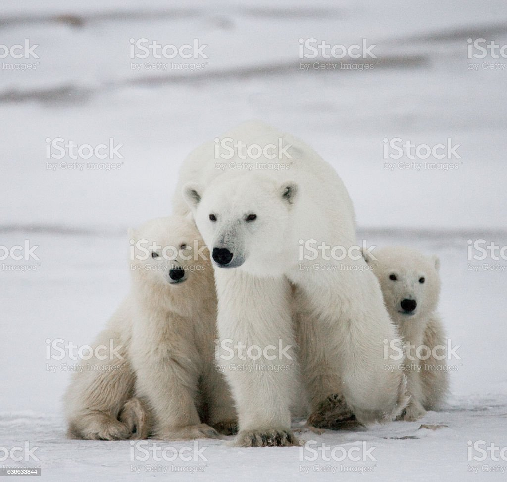 Polar bear with a cubs in the tundra. royalty-free stock photo