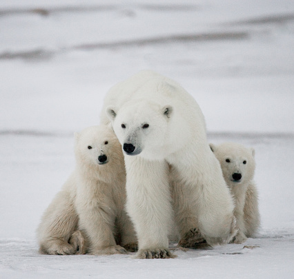 Polar Bear With A Cubs In The Tundra Stock Photo - Download Image Now
