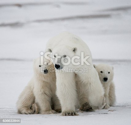 Polar Bear With A Cubs In The Tundra Stock Photo & More Pictures of Animal