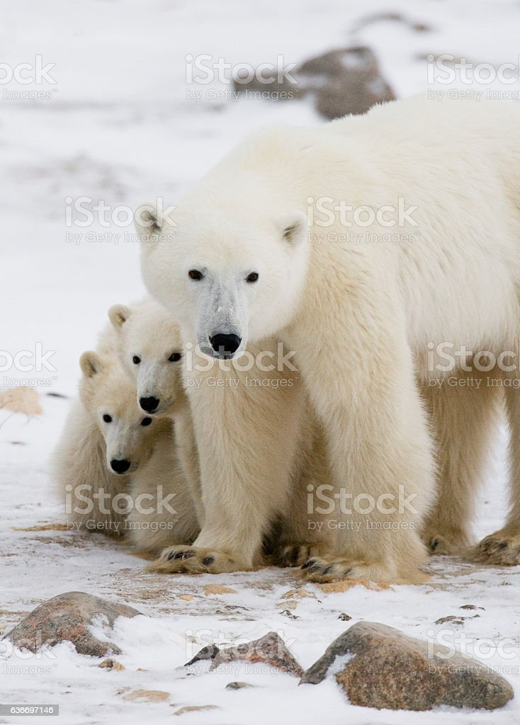 Polar bear with a cubs in the tundra. stock photo