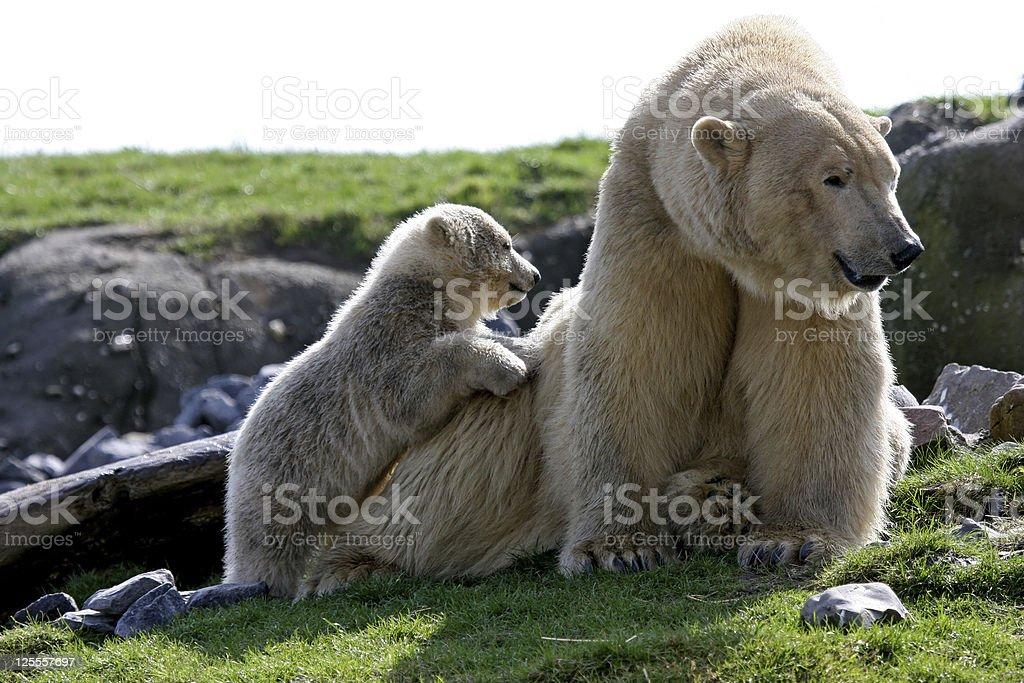 polar bear with cub royalty-free stock photo