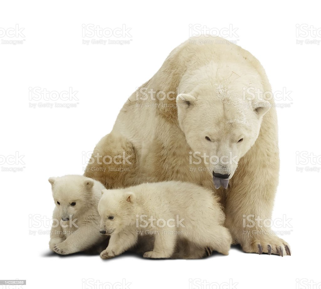 Polar bear with cubs. Isolated over white royalty-free stock photo