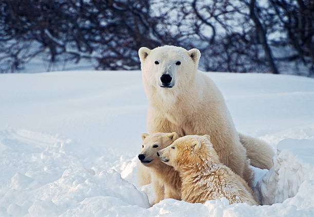Polar Bear with Cubs A female polar bear sits in a snow bank with her two cubs. Manitoba, Canada. cub stock pictures, royalty-free photos & images