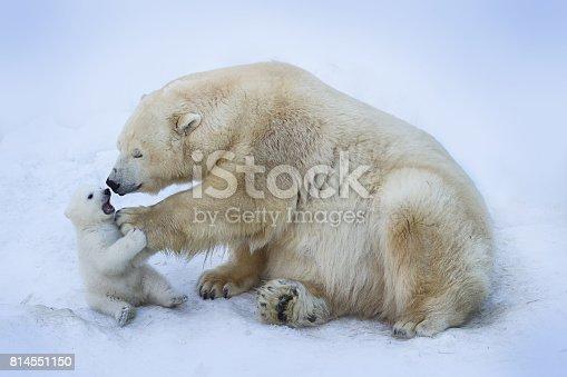 istock Polar bear with mom 814551150