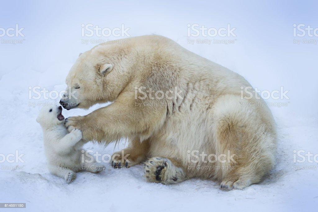 Polar bear with mom stock photo