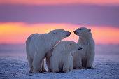 White polar bear on the ice \