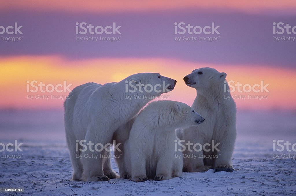 Polar bear with yearling cubs(see others in my portfolio) stock photo