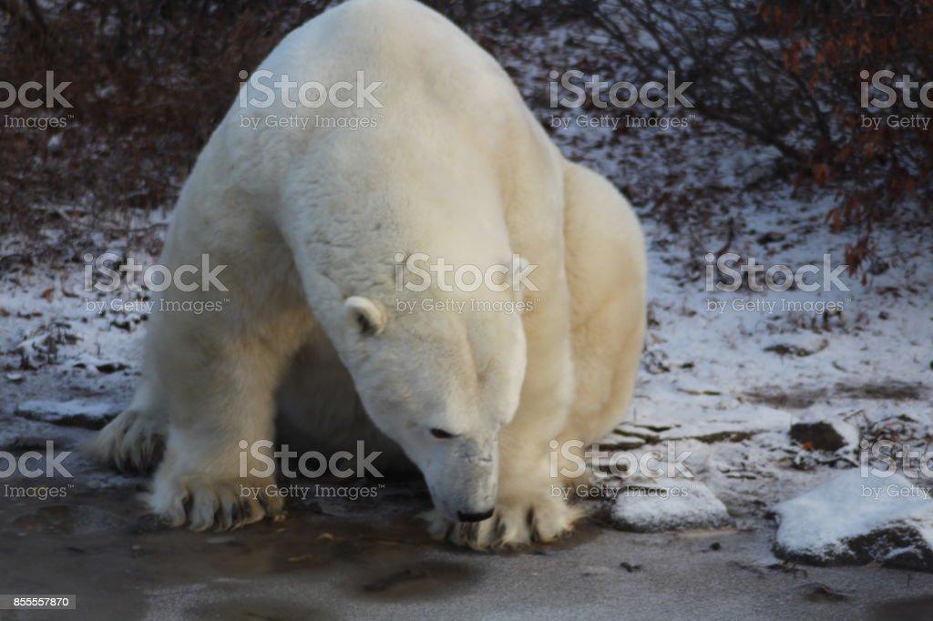 Polar Bears- Churchill -Hudson Bay -Canada stock photo
