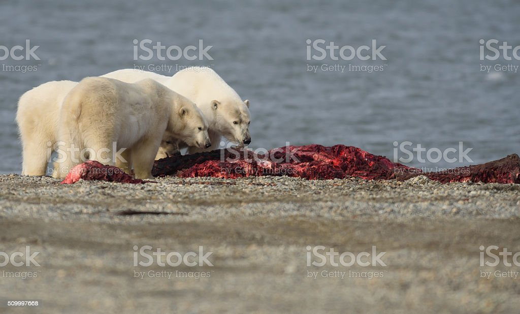 Polar Bears Eating Bowhead Whale Meat on Land in Alaska stock photo