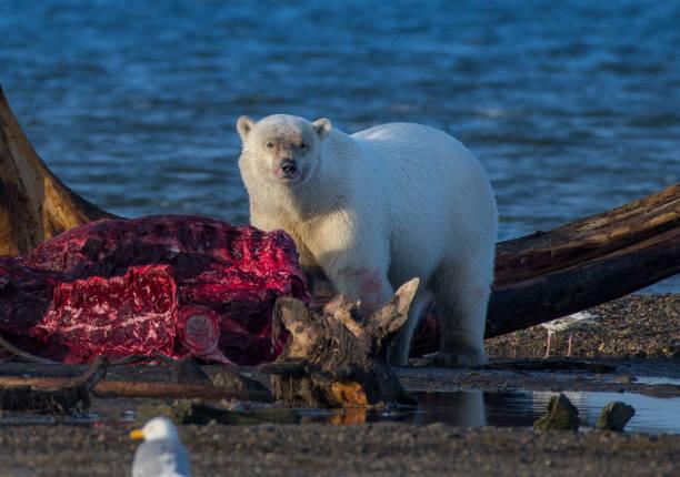 eisbären fressen walkadaver in alaska - die toteninsel stock-fotos und bilder