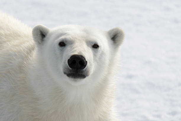 Polar bear's (Ursus maritimus) head close up stock photo
