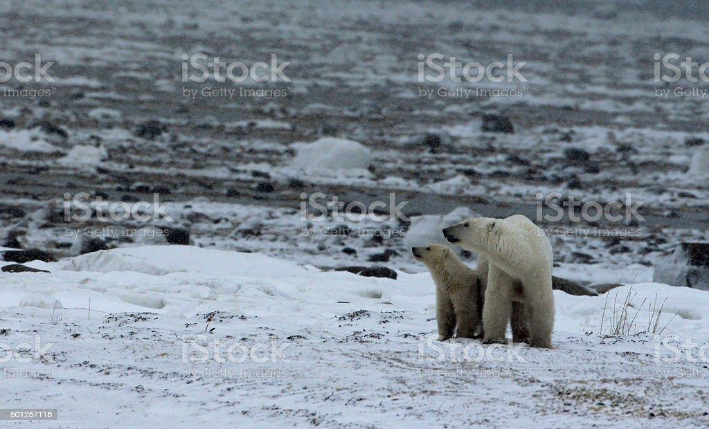 Polar Bears in Tandem stock photo
