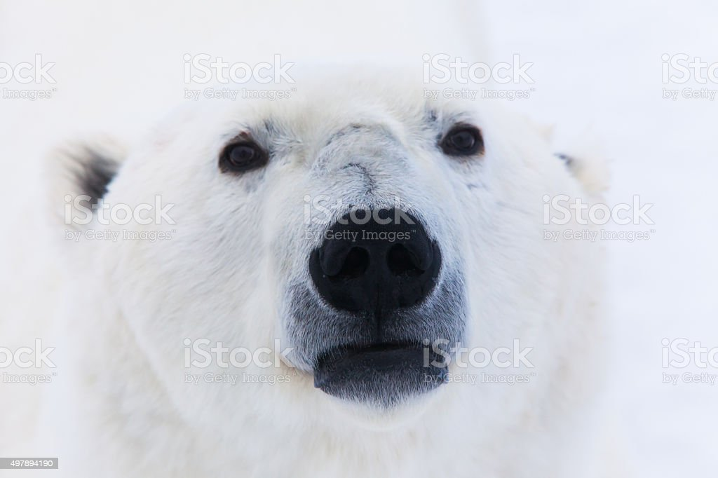 Polar Bear's Nose stock photo